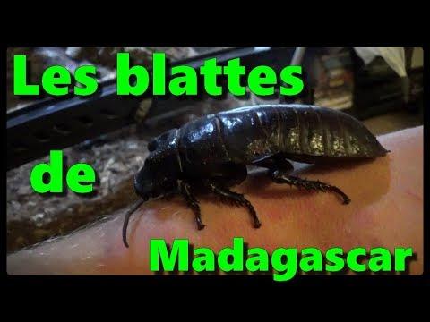 Les blattes de Madagascar - Nouveau terra
