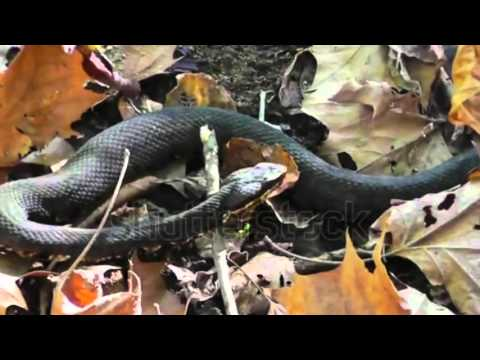 Snakes Of Nebraska