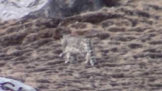 A research team of Shan Shui, Snow Leopard trust and Panthera came across a snow leopard mother and her two subadult cubs on the Tibetan Plateau, in China's Qinghai province. They managed to capture a few minutes of precious footage of these rare, endangered cats before they disappeared. Footage by Shan Shui Conservation Center, Panthera, Snow Leopard Trust, Government of Zadoi County, Qinghai, SEE Foundation.