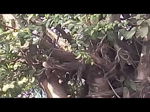 Video 🌴🐥🌴 Sparrow Conservation गौरैया संरक्षण ,Terrace Gardening छत पर बागवानी 🌴🐥🌴 download in MP3, 3GP, MP4, WEBM, AVI, FLV January 2017