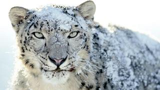Video L'incroyable léopard des neiges (vidéo rare) - ZAPPING SAUVAGE MP3, 3GP, MP4, WEBM, AVI, FLV Agustus 2017