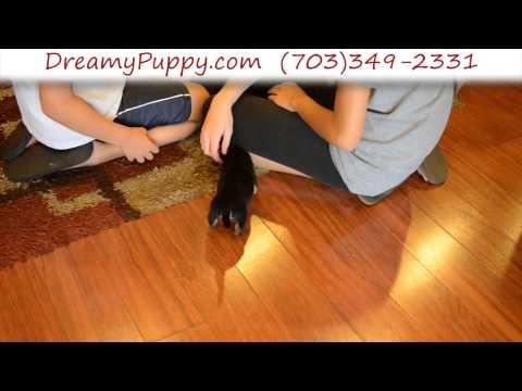 Very Cute Female Dachshund Puppy 3
