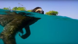 Download Youtube: Swimming Sloth Searches For Mate | Planet Earth II