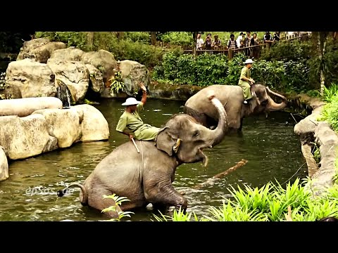 elephant - Funny video about elephants in the zoo of Singapore. This free video was created for you by http://epsos.de and can be used for free under the creative commo...