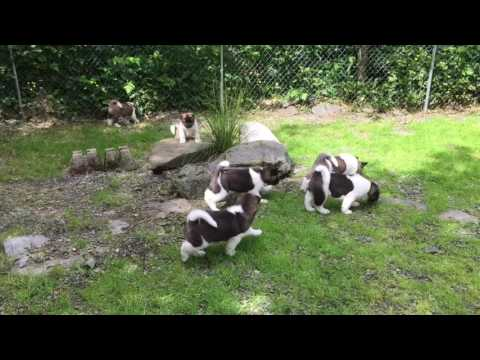 Alaska Akita puppies almost 7 weeks old 61116