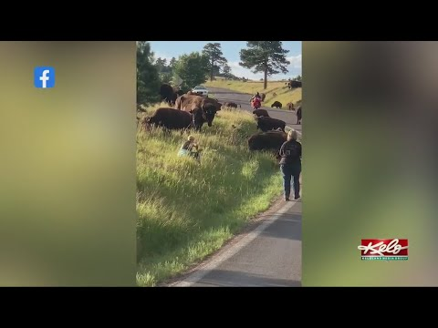 Woman attacked by a buffalo at Custer State Park