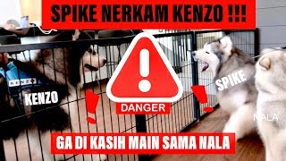 Video SPIKE nerkam KENZO karena NALA - VLOG ( MALAMUTE FIGHT !!! ) MP3, 3GP, MP4, WEBM, AVI, FLV April 2019