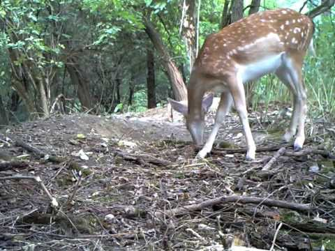Ltl Acorn 6310MC test video - young deer