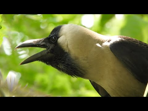 Crow birds unity anger and sounds