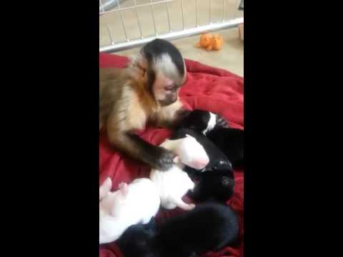 monkey and his new puppies