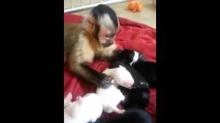 Macaquinho e os cãezinhos