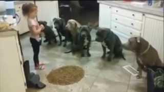 4-letnia dziewczynka kontroluje 6 PitBullów podczas karmienia.
