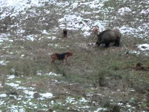 lov na divlju svinju sobat m.MPG