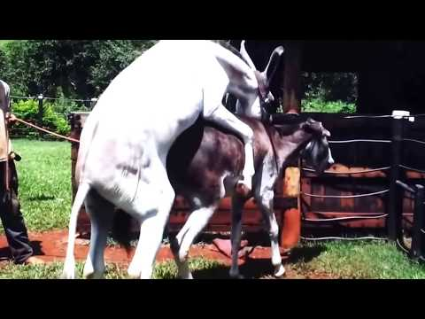 Horse  Mating With Donkey - Animals Mating - Animals Sex