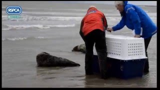 Port-Eynon United Kingdom  city photos : RSPCA Cymru Video: Seal release at Port Eynon