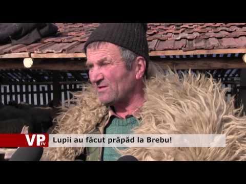Lupii au făcut prăpăd la Brebu!