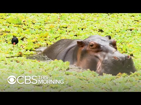Pablo Escobar's hippos keep multiplying and Colombia doesn't know how to stop it