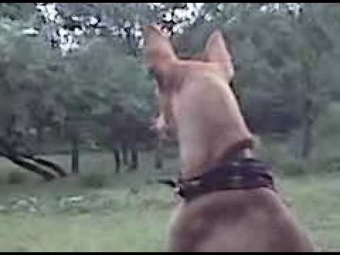 Frito Pie The Chihuahua Dog – Gettin The Deer