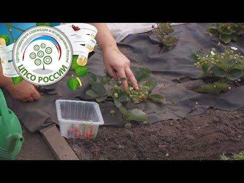 Выращивание земляники ремонтантной в теплице. Уход за земляникой в теплице в конце лета.
