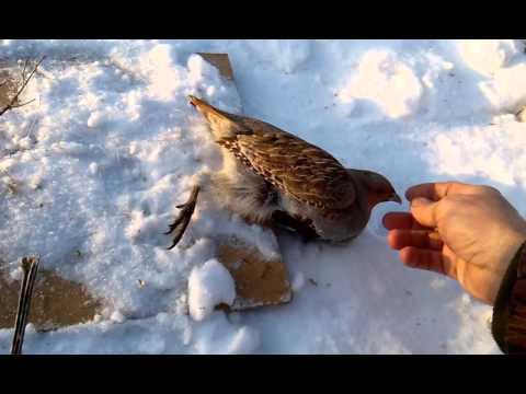 ловля куропаток силками