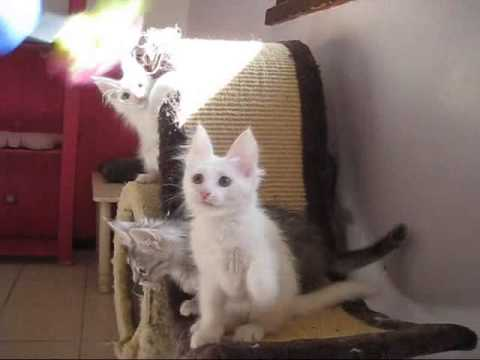 Chatterie d'Angora'mour - Chatons de 3 mois (видео)
