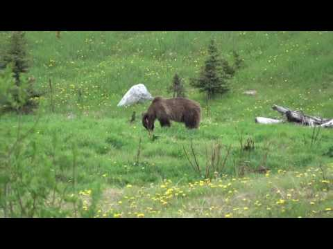 Grizzly Bears. Lake Louise's. Banff. Canada.june-21-2017