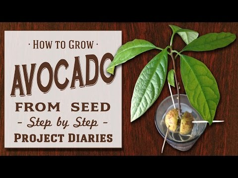★ How To: Grow Avocado From Seed (a Complete Step By Step Guide)