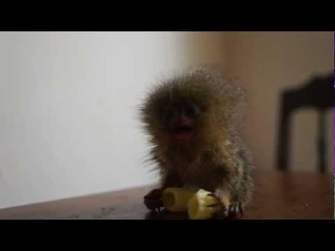 Maailman pienin apina syö makaroonia