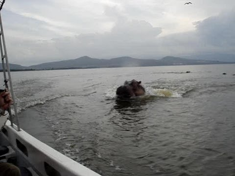 hippo - Evan and Luke at Lake Naivasha in Kenya being chased by threatened female hippos.
