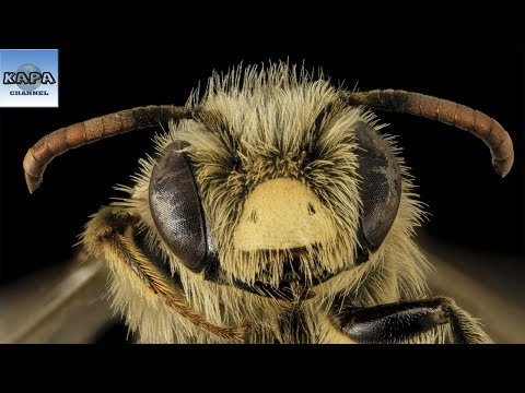 Những Sự Thật  Thú Vị Về Loài Ong Mà Ít Ai Để Ý - KAPA Channel