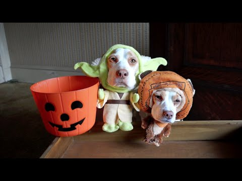 Costumes - Dogs in Costumes Go Trick or Treating on Halloween: Cute Dog Maymo To use this video in a commercial player, advertising or in broadcasts, email Viral Spiral (contact@viralspiralgroup.com)...