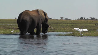 A lone elephant wades out into the Chobe River in Botswana, Africa, while we watch from the boat. It swims across to the other side.More HD safari footage on the safaricam channel, including full leopard hunt, lions, zebra, cheetah and more. Subscribe now to be kept up to date with future uploads.