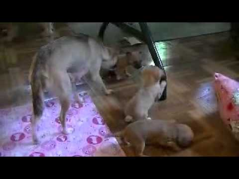 1 month old chihuahua puppies playing