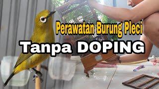 Download Video Perawatan Burung PLECI Tanpa DOPING Agar Cepat Buka Paruh Dan GACOR MP3 3GP MP4
