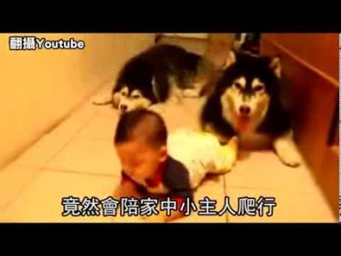 2犬陪小主人練爬「狗腿」不敢超前 呵呵