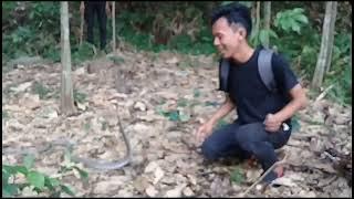 Video Ular king  cobra yang selalu menghadang warga MP3, 3GP, MP4, WEBM, AVI, FLV Mei 2019