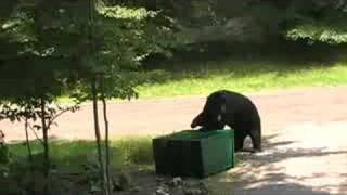 Video bear eating garbage MP3, 3GP, MP4, WEBM, AVI, FLV Agustus 2017