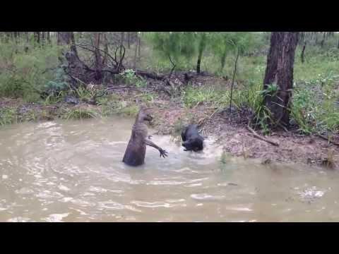 Regardez cette technique de défense d'un kangourou face à chien. Impressionnant !
