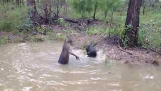 Un kangourou se défend face à un chien