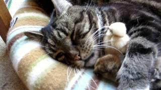 温々とヒヨコは眠るよ猫の腹、胸の間と後頭部にも