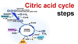 Citric acid cycle steps