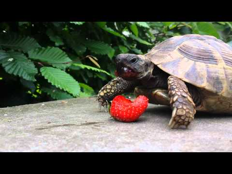 Watching the turtle eat a strawberry is so relaxing...unless you have OCD!