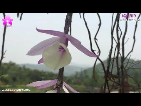 HoalanTV: Hạc Vĩ Hoa Tím, Hoa Trắng Đẹp Thơm, Dễ Trồng, Dễ Hoa - Thời lượng: 6:51.