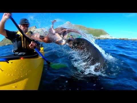 Тюлень бросил осьминога прямо в лицо мужчине