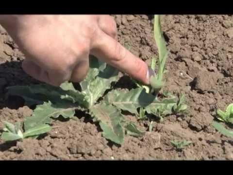 Zemljišno i korektivno tretiranje kukuruza