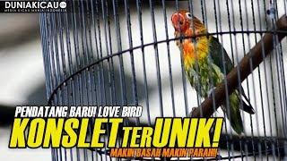 Video PENDATANG BARU! Love Bird KONSLET ter-UNIK, Makin Basah Makin PARAH!! MP3, 3GP, MP4, WEBM, AVI, FLV Maret 2018