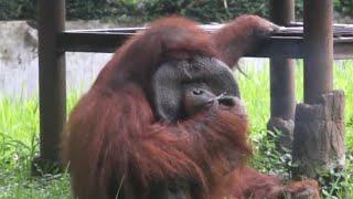 Video See Orangutan Smoking in Video That's Sparking Animal Activist Uproar MP3, 3GP, MP4, WEBM, AVI, FLV Juni 2018
