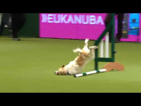 Ozzy Man Adds Commentary to Olly the Dog Stealing the Show at the 2017 Crufts Agility