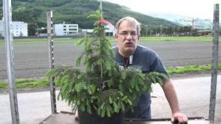 #655 Die Mähnenfichte - Picea breweriana