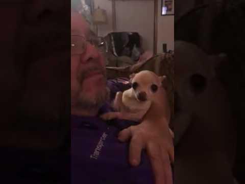 Chihuahua kisses